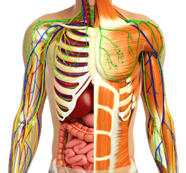 Anatomie-Muskeln-Nerven-Knochen